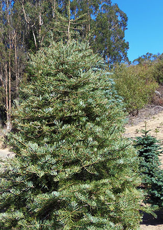 Concolor Fir or White Fir at Santa's Tree Farm