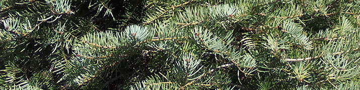 Concolor Fir closeup