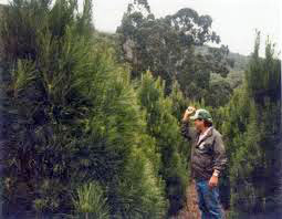 Dan Sare trimming Christmas trees