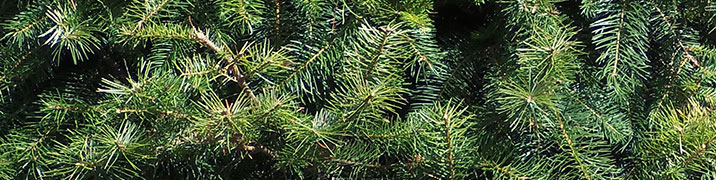 Douglas Fir closeup